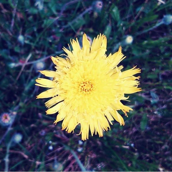 желтый одуванчик